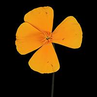 night-poppies-j-g-2_orig